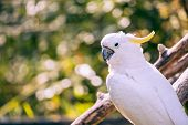 stock photo of cockatoos  - close up of yellow crested cockatoo with blurred foliage background - JPG