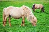 picture of iceland farm  - Icelandic beautiful horses graze on a green meadow - JPG