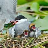 picture of tern  - common tern feeding its chicks in the nest  - JPG