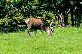 pic of broadway  - Male red deer in a meadow near Broadway Worcestershire England UK Western Europe - JPG