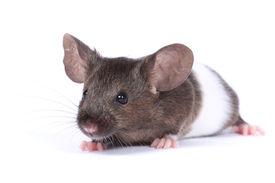 picture of fancy mouse  - little fancy mouse  - JPG