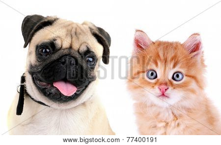 Funny pug dog and little red kitten isolated on white