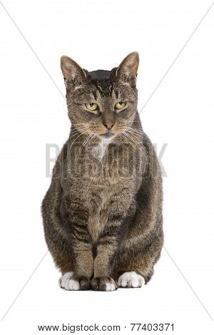 European-shorthair Cat