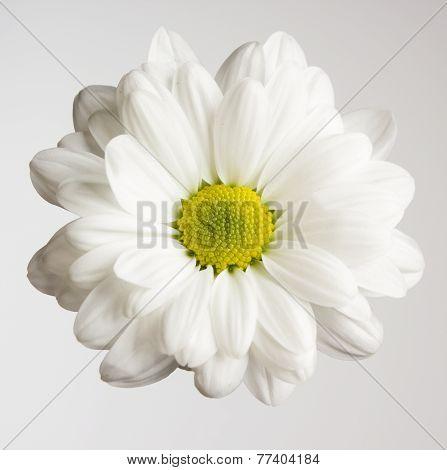 One Fresh Chrysanthemum Flower