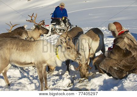 Two unidentified Saami men feed reindeers, Tromso region, Nortehern Norway.