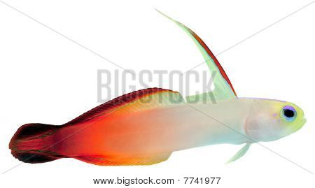 Fire Fish (magnificent Hover Goby)