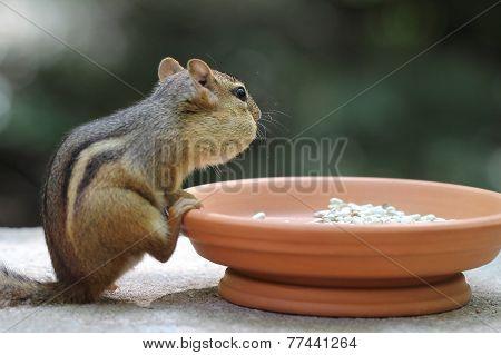 Chipmunk - Contemplative