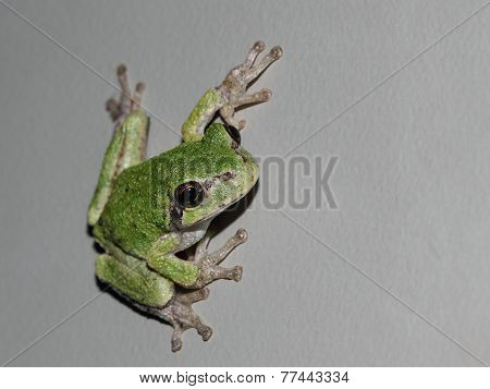 Green Frog - On Grey Background With Copy Space