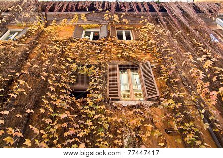 Yellow Ivy On The Facade Of House
