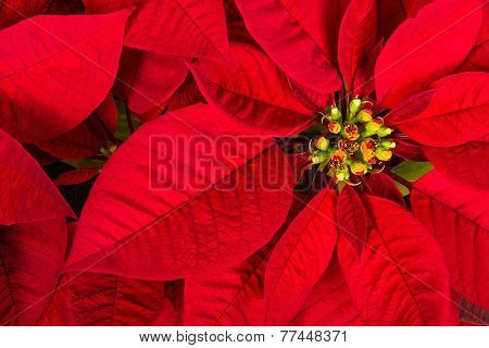Closeup of Red Poinsettia Flower