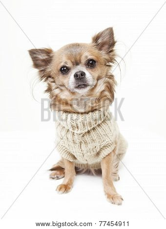 Chihuahua With Wool Sweater