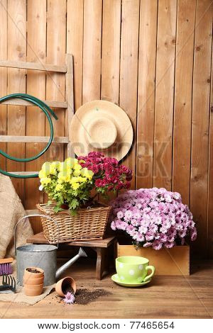 Chrysanthemum bush in wooden box, tools for gardening on wooden wall background