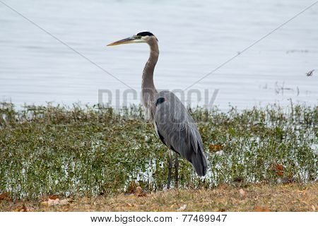 Blue Crested Night Heron