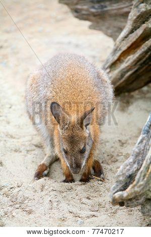 Kangaroo In Zoo
