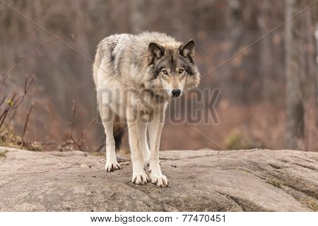 Timber wolf in a forest environment