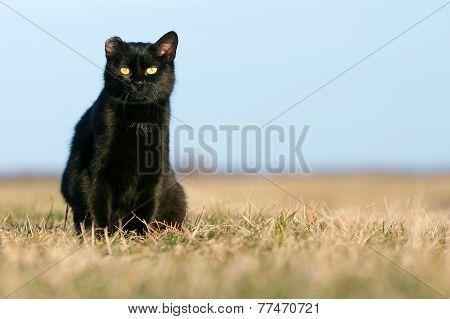 Black Cat Sitting In Grass On Meadow