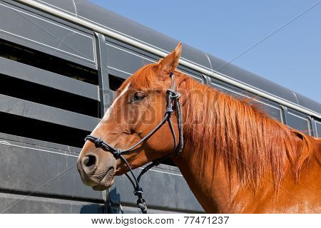 Close Up Of Horse By A Trailer