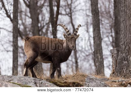 Ibex in a forest scene