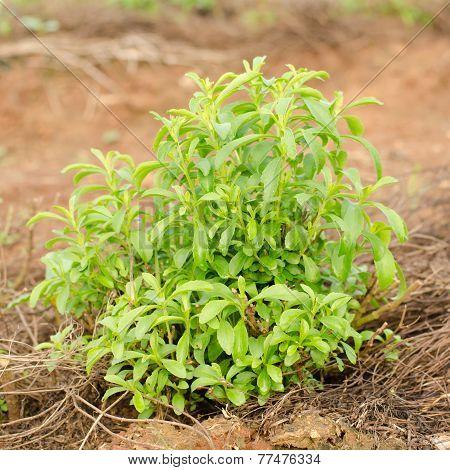 Stevia Tree