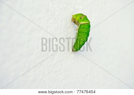 Worm Butterfly Will Be Chrysalis In Soon