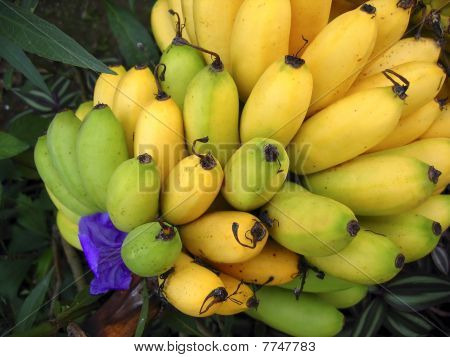 Banana Fruits Branch Yellow Over Green