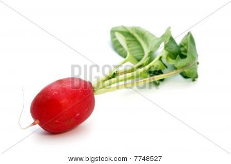 Radish, Freshly Harvested