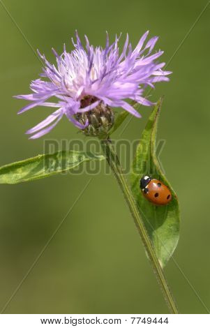 Flower of cornflower and Ladybird