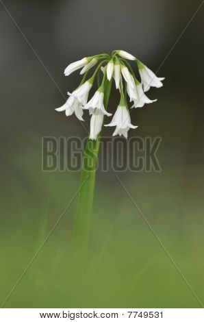 Three-cornered Leek