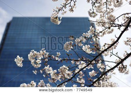 Flor de cerejeira, em frente ao prédio do negócio