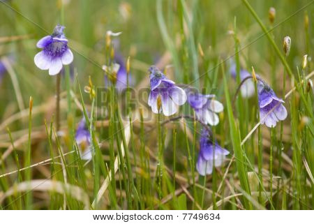 Flowers of the carnivorous plant Butterwort (Pinguicula vulgaris)