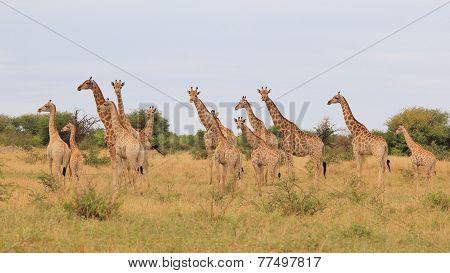 Giraffe - African Wildlife Background - Herd of Many