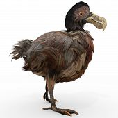 picture of dodo  - An illustration of the extinct Dodo Bird on a white background - JPG