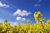 stock photo of rape  - rape seed flowers in field with blue sky and clouds on summers day - JPG