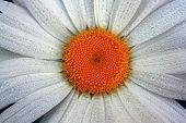 picture of chamomile  - Chamomile in drops of dew on the petals - JPG