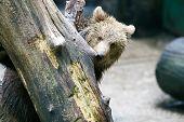 picture of peek  - A bear peeking behind the tree trunk in a zoo - JPG