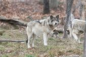 image of horrific  - A timber wolf in a forest environment - JPG