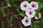 image of rainy season  - morning glory flowers in the rainy season