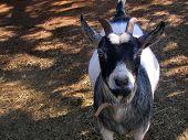 stock photo of pygmy goat  - A horned dwarf - JPG