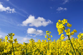 image of rape-field  - rape seed flowers in field with blue sky and clouds on summers day - JPG