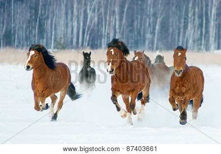 Herd Of Horses Running Through A Snowy Field Gallop