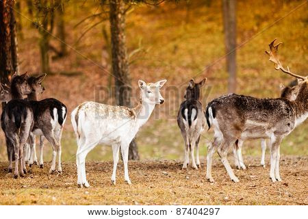 Herd Of Deer In The Wild
