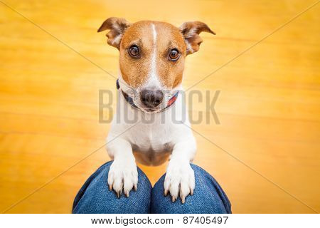 Dog Begging On Lap