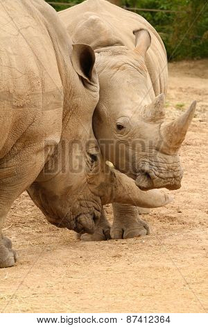 White Rhinoceros Battle 2