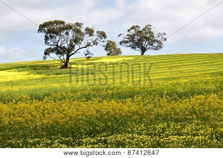 Canola Yellow
