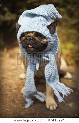Beautiful male pug puppy dog sitting on a tree log in the sunshine with a blue scarf and a gnome hat