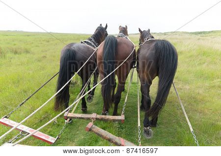 Horses with tilt car in the nature from Dutch wadden island Terschelling