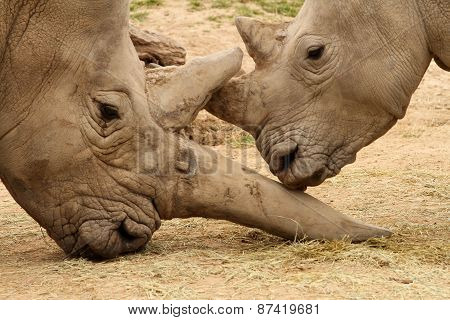 White Rhinoceros Battle