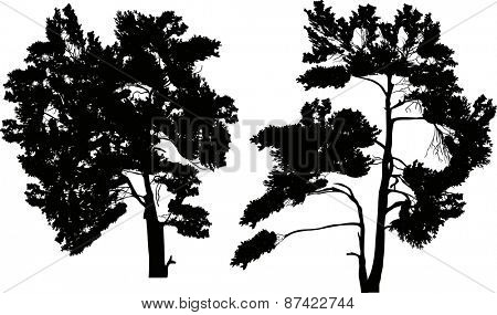 illustration with two black pine silhouettes isolated on white background