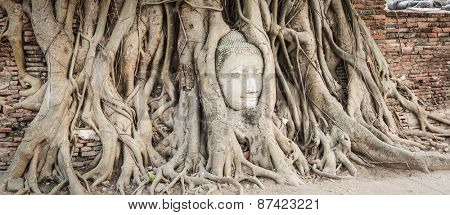 Buddha head overgrown by fig tree in Wat Mahatat. Ayutthaya historical park. Panorama