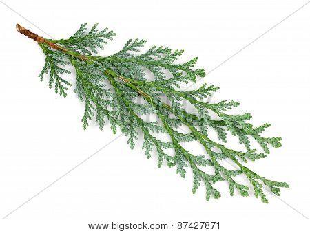 Arborvitae Leaves On A White Background